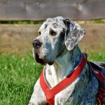 great-dane-3387239_640