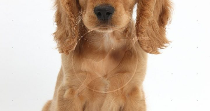 36711-Golden-Cocker-Spaniel-puppy-white-background