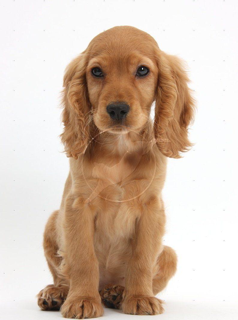 36711-Golden-Cocker-Spaniel-puppy-white-background