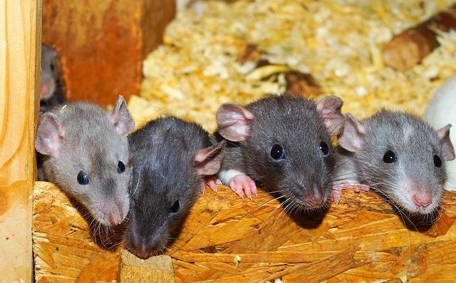 rat-4788602_640