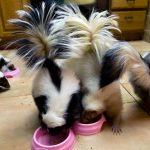 Things You Need To Know Before Breeding Your Pet Skunk