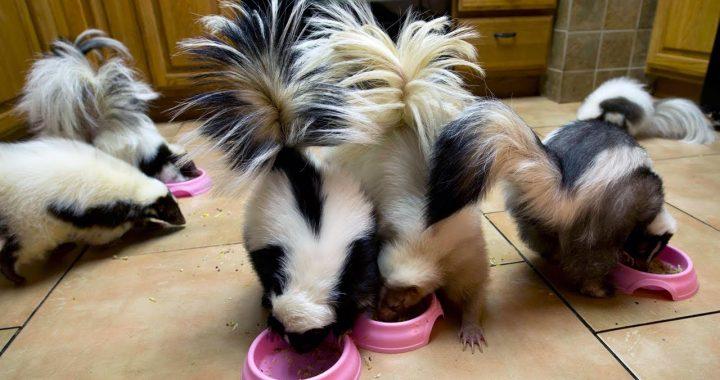 Pet-skunks-feeding