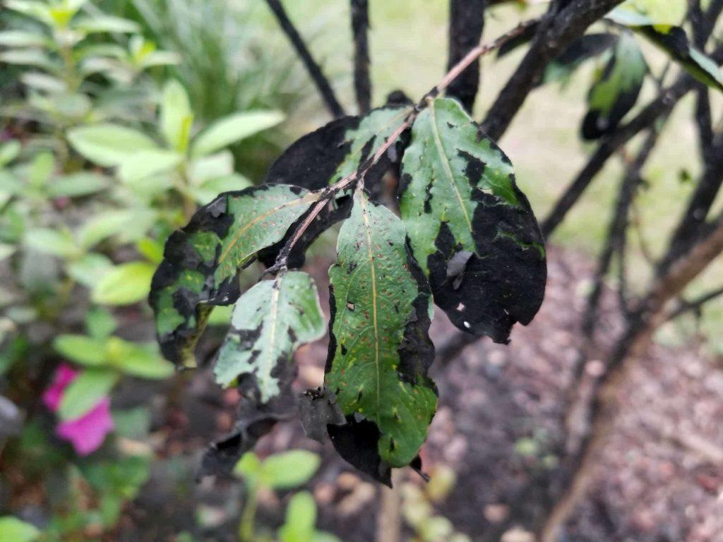 black-sooty-mold-crepe-myrtle-2