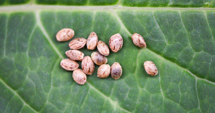 crop-king-marijuana-seed-bank